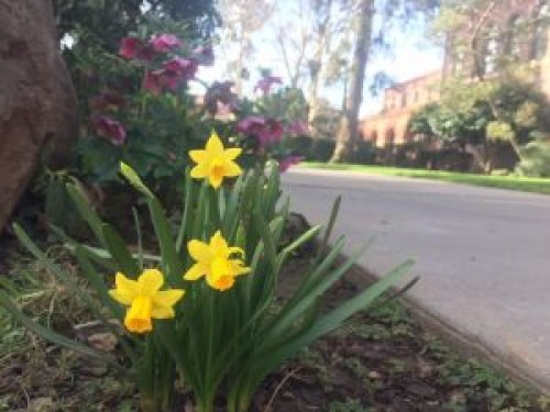 Daffodils on the Chico State campus.