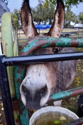 A donkey peers through a gate.