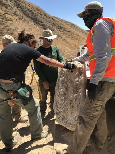 Russell Shapiro's dig crew takes a closer look at the 15-million-year-old mystery fossil while on location in Simi Valley.