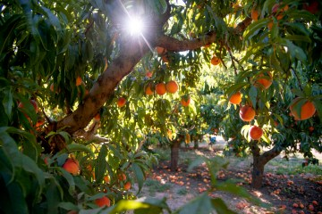 The sunshine peeks through branches and leaves of peach trees at the University Farm.
