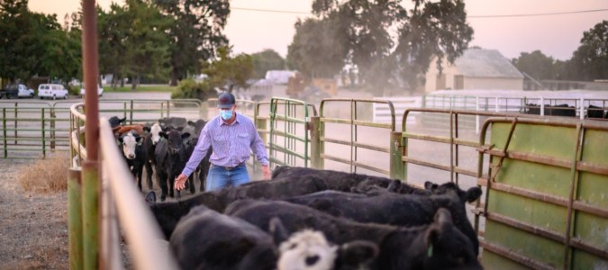 Reed Pritchard pushes the beef cattle down a shoot on University Farm.