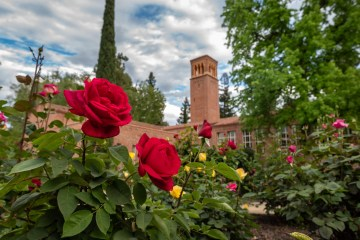 Yellow and red roses bloom in the foreground with academic buildings in the background.