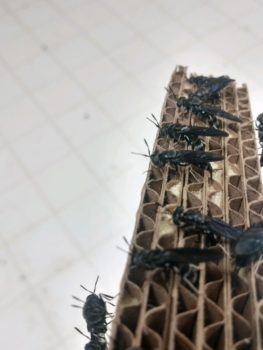 Black Soldier Fly Maggots Can Reduce Waste And Serve As A Protein Source