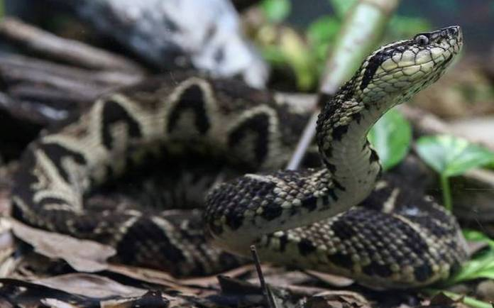 Brazilian Viper's Venom has the Tendency to Stop COVID-19 from Multiplying: Scientists