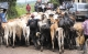 Nicaragua Cattle Smuggled to Honduras