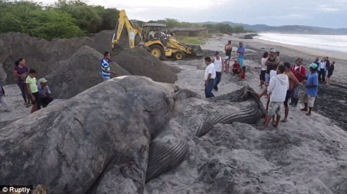 Community effort: After spending the better part of Friday attempting to push the beached blue whale back to sea, locals again gathered on Saturday to help bury the 18-metre marine mammal Read more: http://www.dailymail.co.uk/travel/travel_news/article-2837808/Nicaraguans-bury-beached-blue-whale-washed-ashore-Friday.html#ixzz3JMS7Ccpn Follow us: @MailOnline on Twitter | DailyMail on Facebook