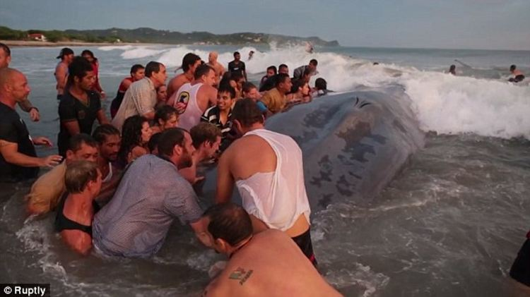 From 11am to sundown: Up to 50 locals and tourists attempted to push the beached whale back into the ocean until sundown on Friday, when they were too exhausted to go on any longer Read more: http://www.dailymail.co.uk/travel/travel_news/article-2837808/Nicaraguans-bury-beached-blue-whale-washed-ashore-Friday.html#ixzz3JMSG0qLe Follow us: @MailOnline on Twitter | DailyMail on Facebook