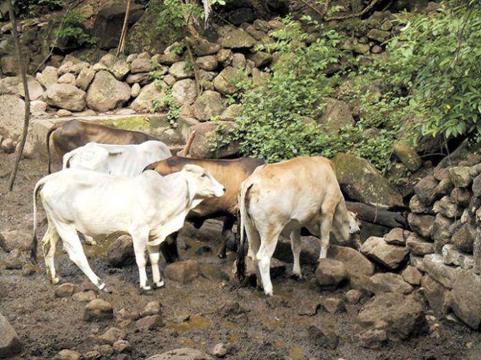 Nicaragua Concerned Over Bovine Rabies in Honduras