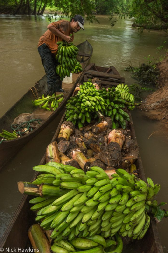 A Rama man loads his canoe with five different varieties of bananas - he will bring them to sell and trade for other goods downriver.