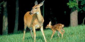 Doe and fawn deer in yard.