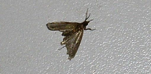 photo of pantry moth (Indian meal moth).