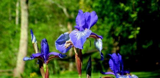 Blue iris flowers in bloom