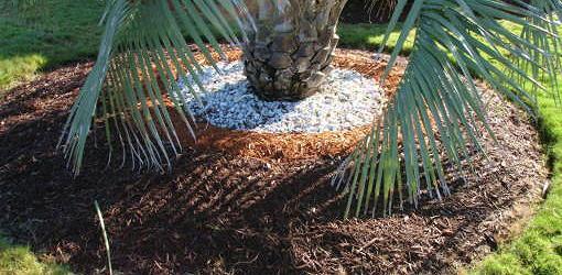Mulch around palm planting