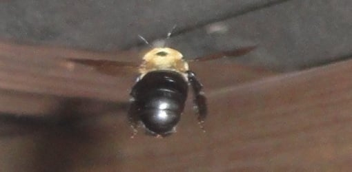 How To Deal With Carpenter Bees Today S Homeowner