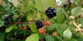 Ripening blackberries