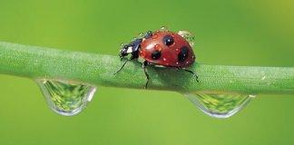 Ladybug or lady beetle