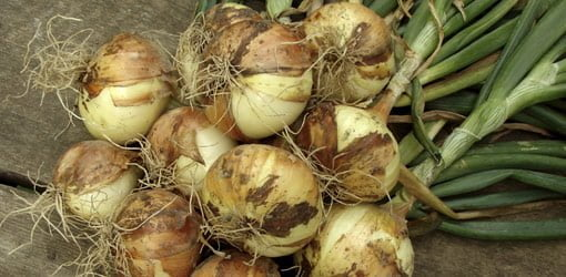 Bunch of fresh onions on deck.