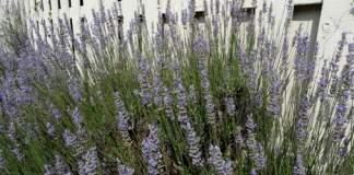 Purple flowering lavender growing along white picket fence.