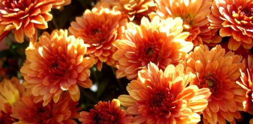 Urano Red-Bronze chrysanthemums