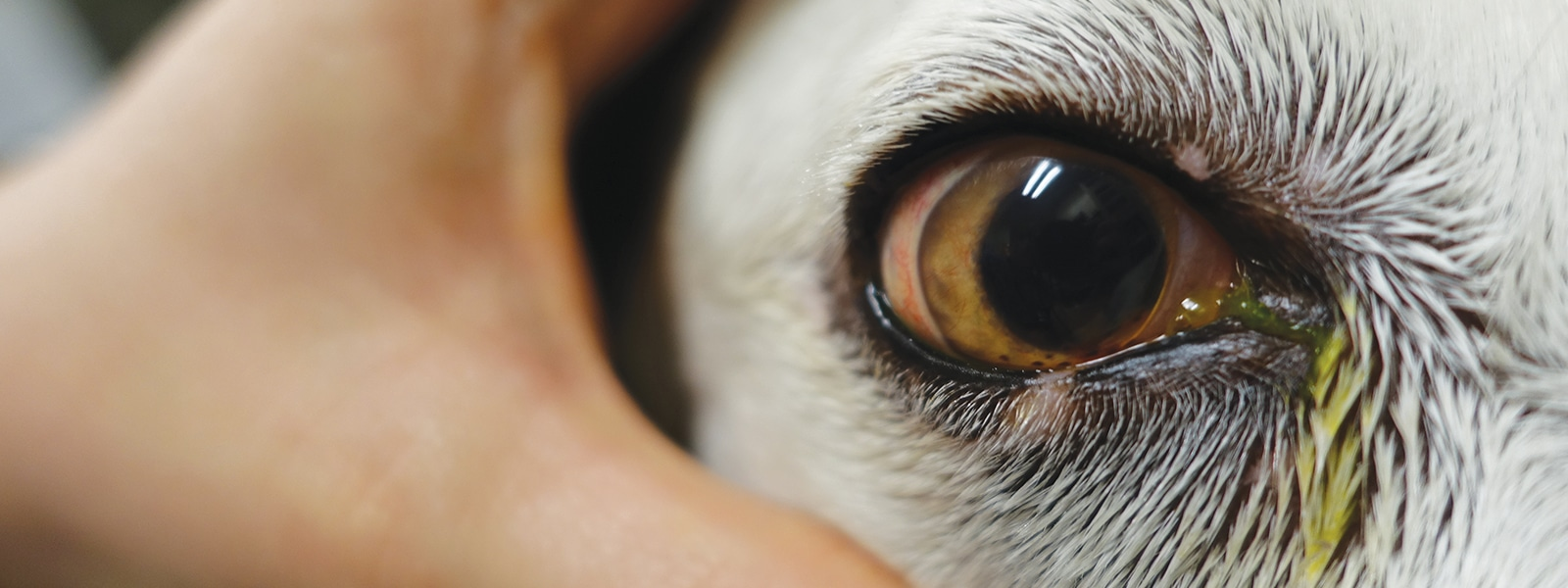 Canine Uveitis And The Veterinary Technician