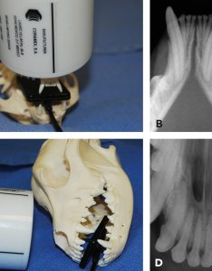 Figure proper imaging of the incisors and mandibular canines due to caudal also practical dentistry dental radiology series techniques for rh todaysveterinarypractice