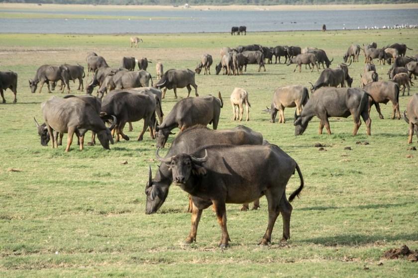 minneriya nationalpark büffel