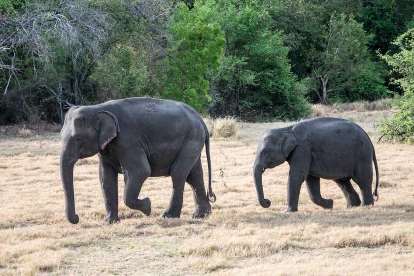 minneriya nationalpark elefanten