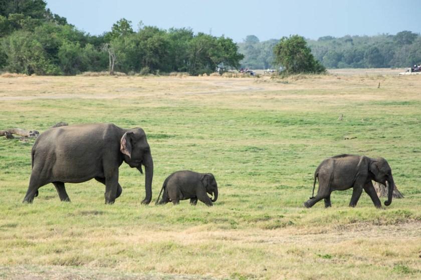 minneriya nationalpark elefantenfamilie