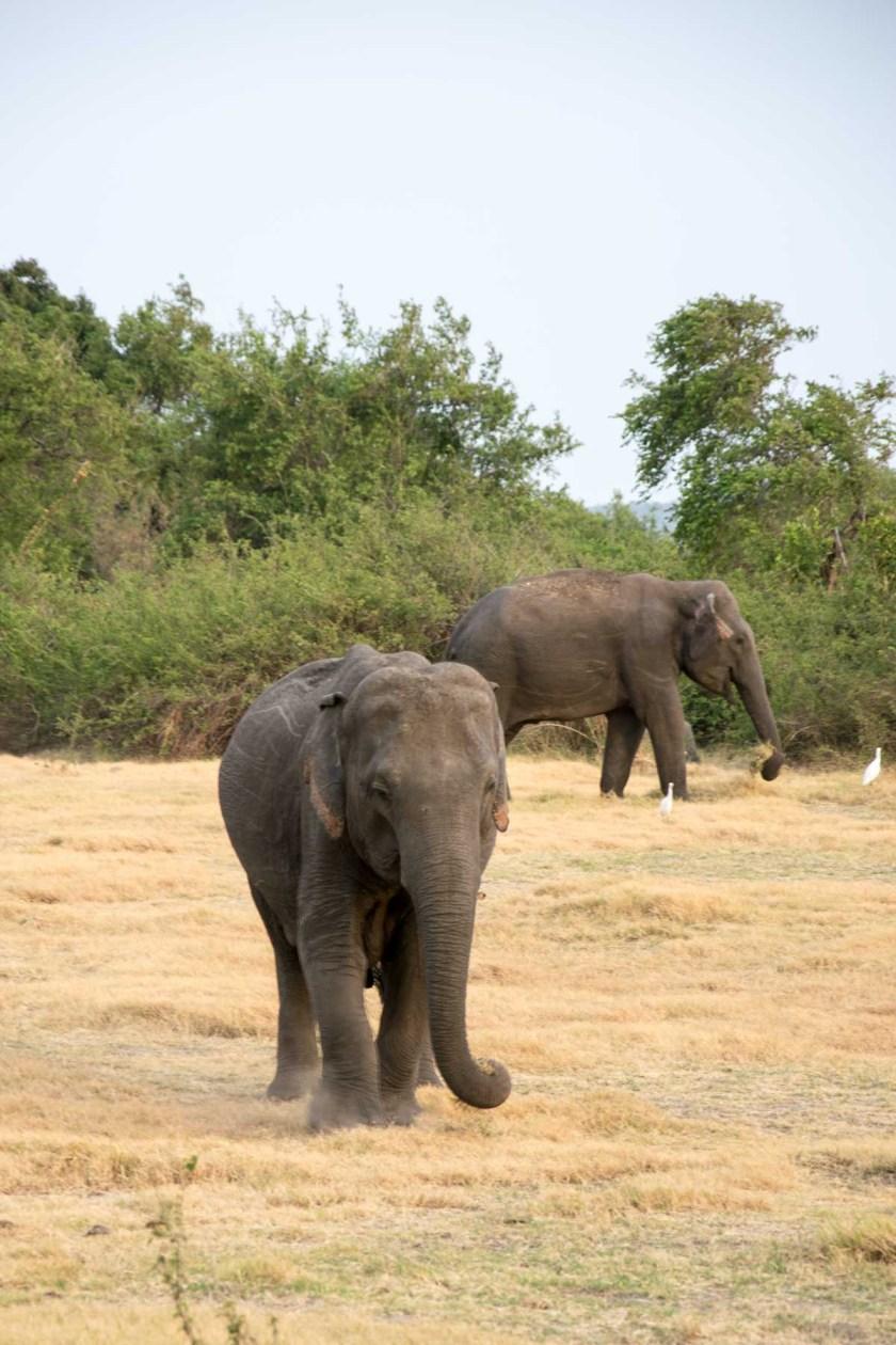 minneriya nationalpark elefant