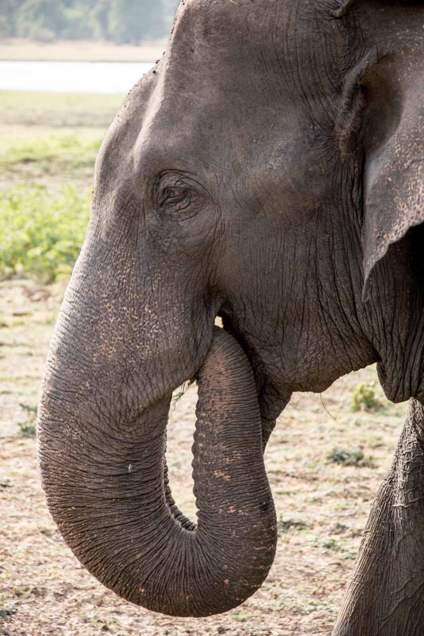 minneriya nationalpark elefant close-up