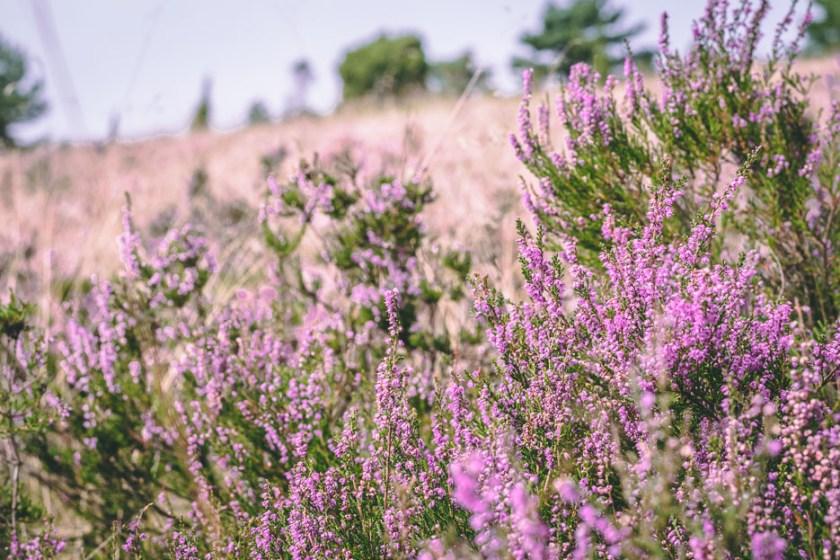 Lüneburger Heide Heideblüte Wandern Tipps Urlaub