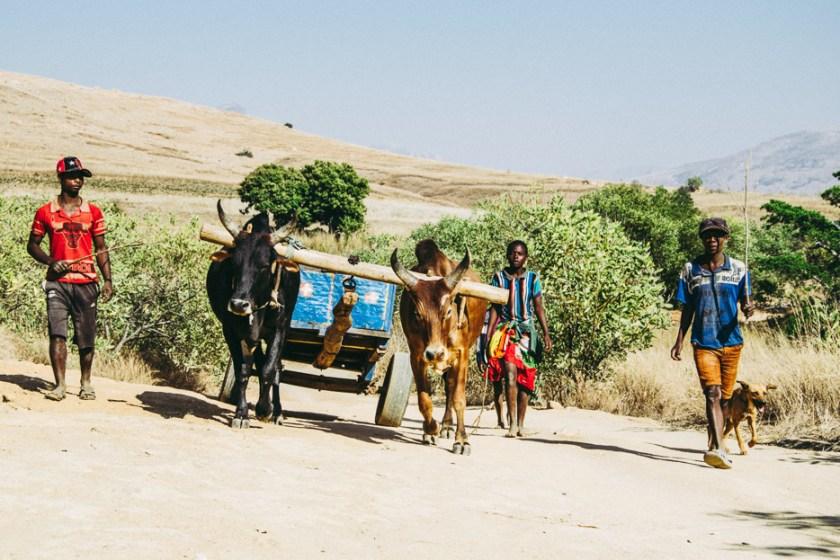 Andringitra Nationalpark Zebukarren Madagaskar