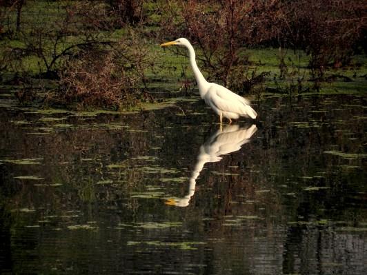 wild birds of Bharatpuhr