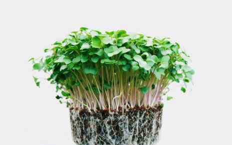 benefits of microgreens