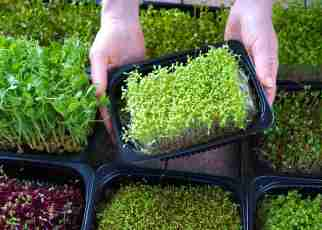 microgreen business