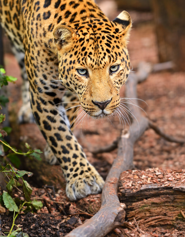 Photo Amur (Far Eastern) leopard