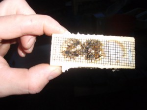 My first queen bee