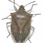 Get rid of the stink bugs.