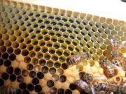 nurse bees, eggs, and larvae