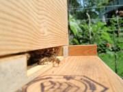 Honey Bee on guard duty