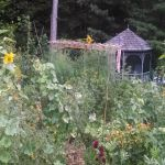 Backyard Permaculture in August