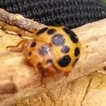 Lady Squash Bug Epilachna borealis
