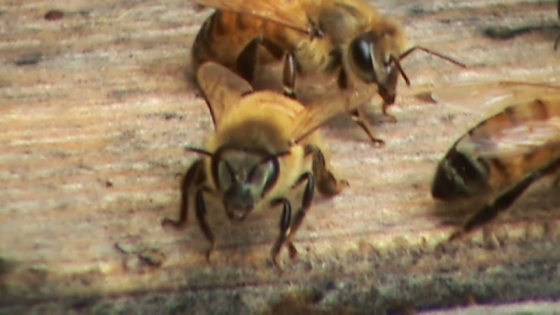 hONEY BEES FOR THE BACKYARD