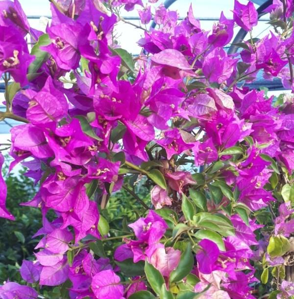 planta de bouganvillea fucsia