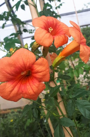 campsis planta trepadora