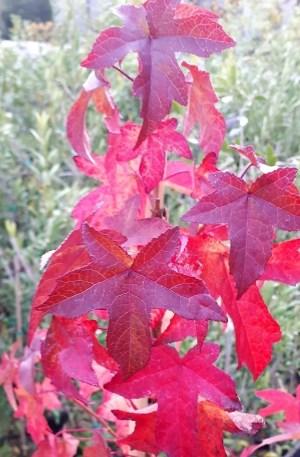 hojas del liquidambar o árbol del ambar