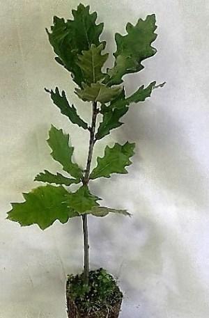 planta de roble pais, quercus robur