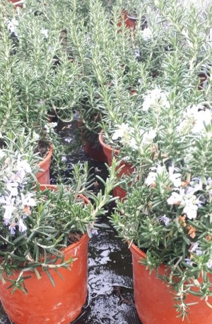plantas rosmarinus repens o romero