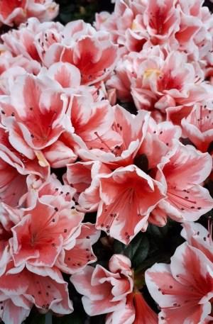 azalea bicolor