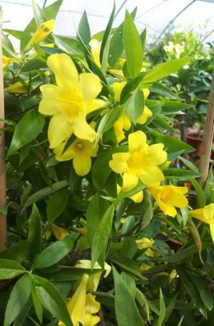 gelsemiun jazmín amarillo